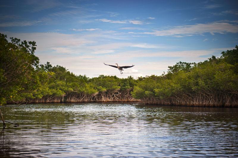 Blue Heron taking flight over a lake. Photo credit: shaferaphoto / Shutterstock
