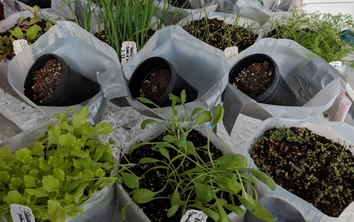 Open containers of milk jugs filled with soil and plant seedlings
